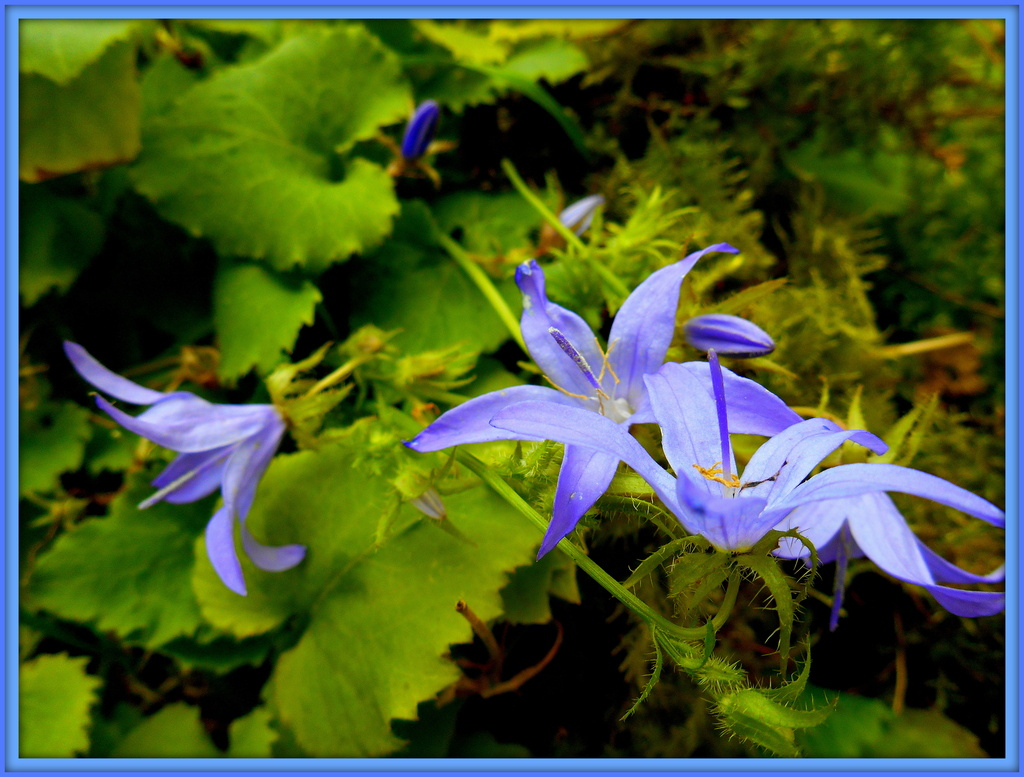 Campanula - Bellflower... by snowy
