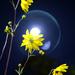 daisy conundrum by riverlandphotos