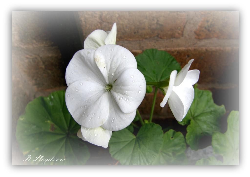 White geranium by beryl