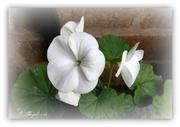 19th Nov 2013 - White geranium