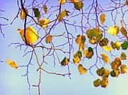 19th Nov 2013 - Golden leaves....