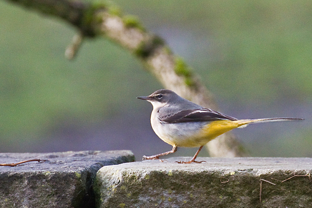 Wagtail. by gamelee