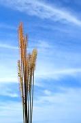 21st Nov 2013 - Wheat
