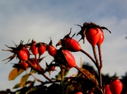 24th Nov 2013 - Rose hips