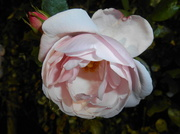 25th Nov 2013 - This rose variety is called New dawn...
