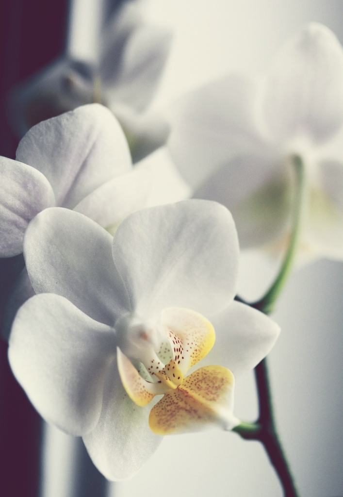 Orchid by Allison