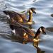 Daffy Ducks by pdulis