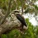Kookaburra by janturnbull
