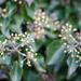 Ivy-30-11 by barrowlane