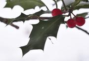 30th Nov 2013 - Holly holy dream......