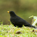 Male blackbird - 02-12 by barrowlane