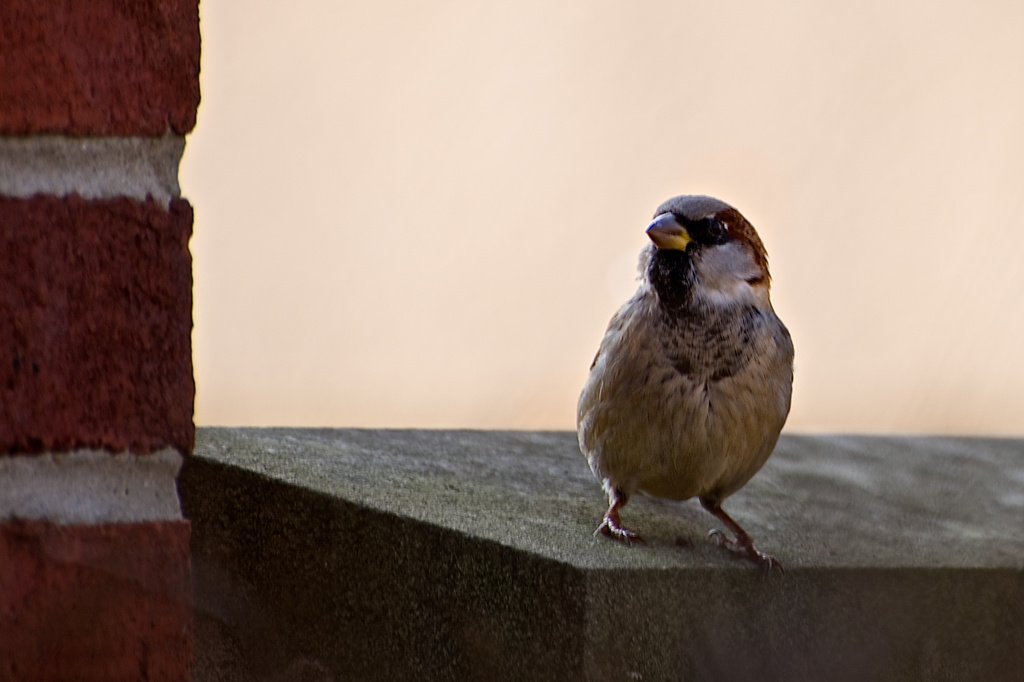 Sparrow in the City by taffy