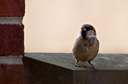 2nd Dec 2013 - Sparrow in the City