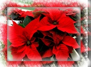 5th Dec 2013 - Poinsettia