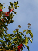 4th Dec 2013 - The holly and the ivy.....