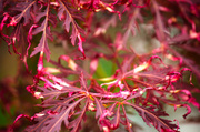 4th Dec 2013 - Japanese Maple