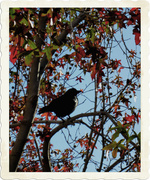 5th Dec 2013 - 1904 Lumiere: Fall Grackle