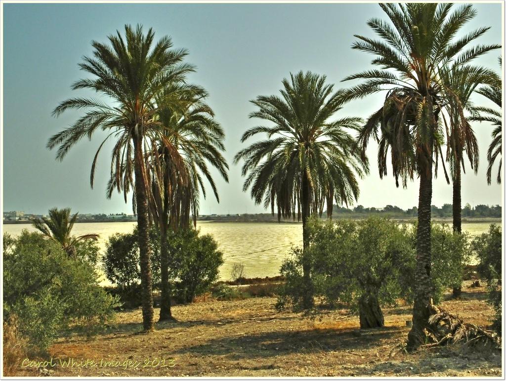 Palm Trees At The Salt Lake,Larnaca'Cyprus by carolmw