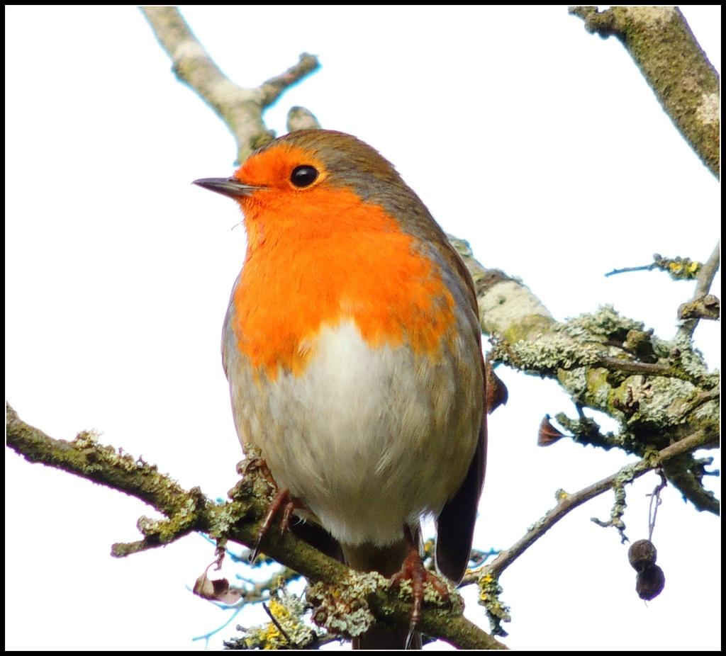 Robin Redbreast by rosiekind