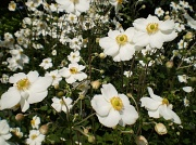 13th Sep 2010 - Japanese Anenomes