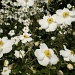 Japanese Anenomes by snowy