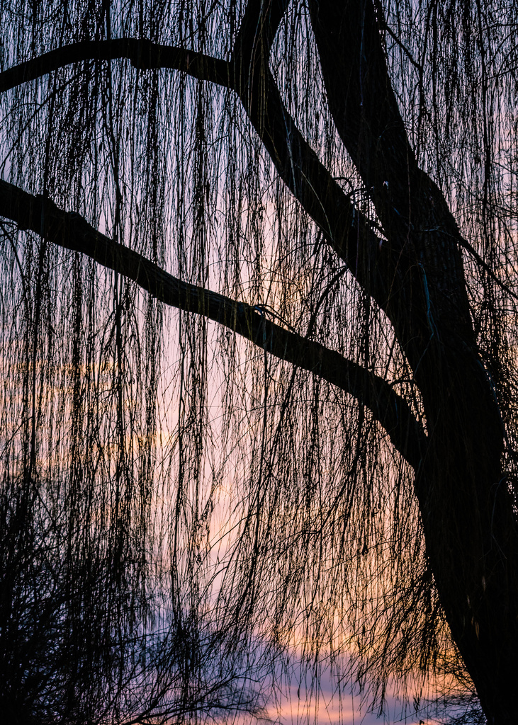 Willow Veil by pflaume