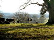 8th Dec 2013 - The cattle at Croft Castle parkland....