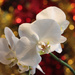 Christmas Orchid by jamibann