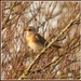 First Fieldfare of the year by rosiekind