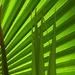 Fan palm by janturnbull