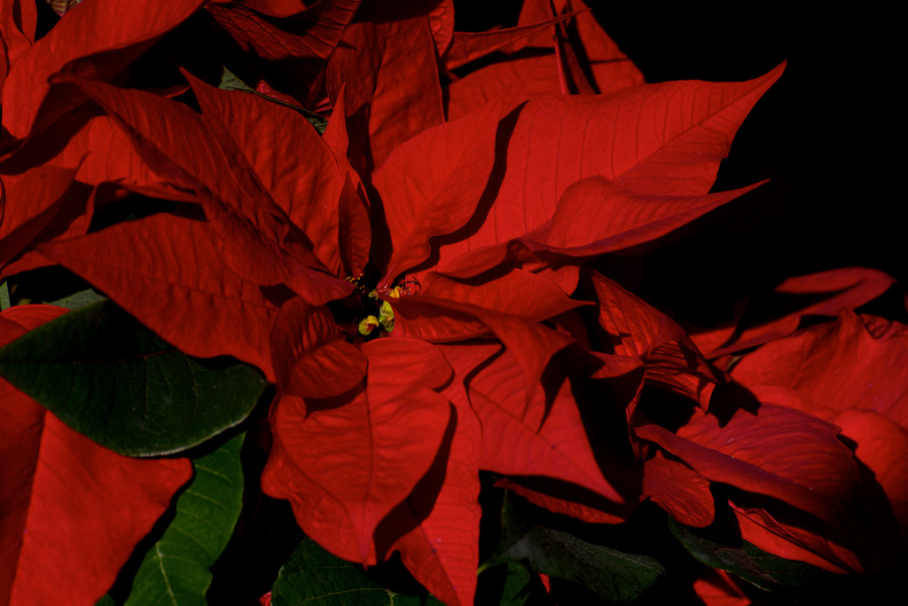 Poinsettia Reds by taffy