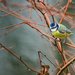 Blue tit - 13-12 by barrowlane