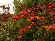 13th Dec 2013 - Berries by the gate