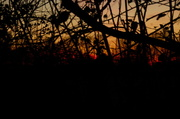 4th Dec 2013 - Sunset through the hedgerow