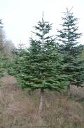 15th Dec 2013 - Christmas Tree - I