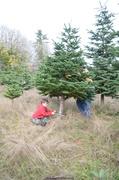 16th Dec 2013 - Chirstmas Tree - II