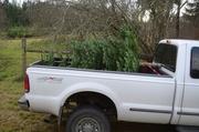 17th Dec 2013 - Christmas Tree - III