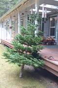 18th Dec 2013 - Christmas Tree - IV