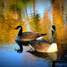 Canadian Geese  by pdulis