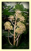 18th Dec 2013 - Fatsia Japonica