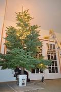 20th Dec 2013 - Christmas Tree - VI