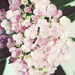 Hydrangea bouquet  by nicolecampbell