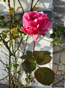 19th Dec 2013 - A winter rose.