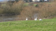 21st Dec 2013 - Swans on the Severn