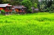 11th Dec 2013 - Rice paddy...