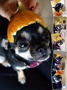 22nd Dec 2013 - Chihuahua helmet 2