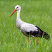 White Stork by zambianlass