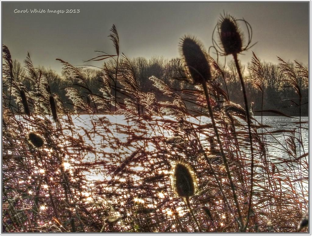 Shimmering Grasses by carolmw