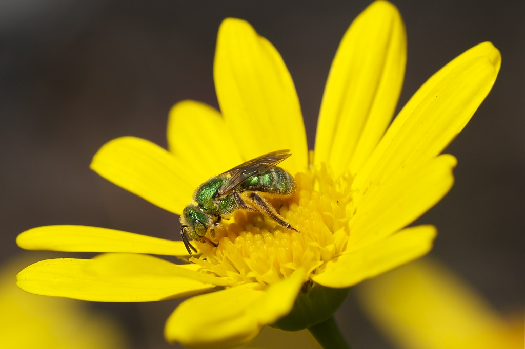 Sweat Bee or Sweet Bee! by robv
