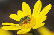 15th Sep 2010 - Sweat Bee or Sweet Bee!